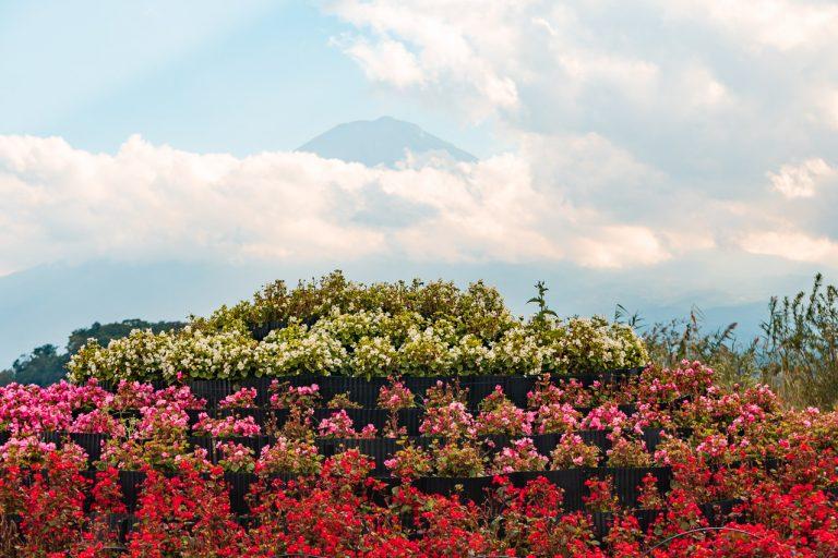 Fuji und Blumen