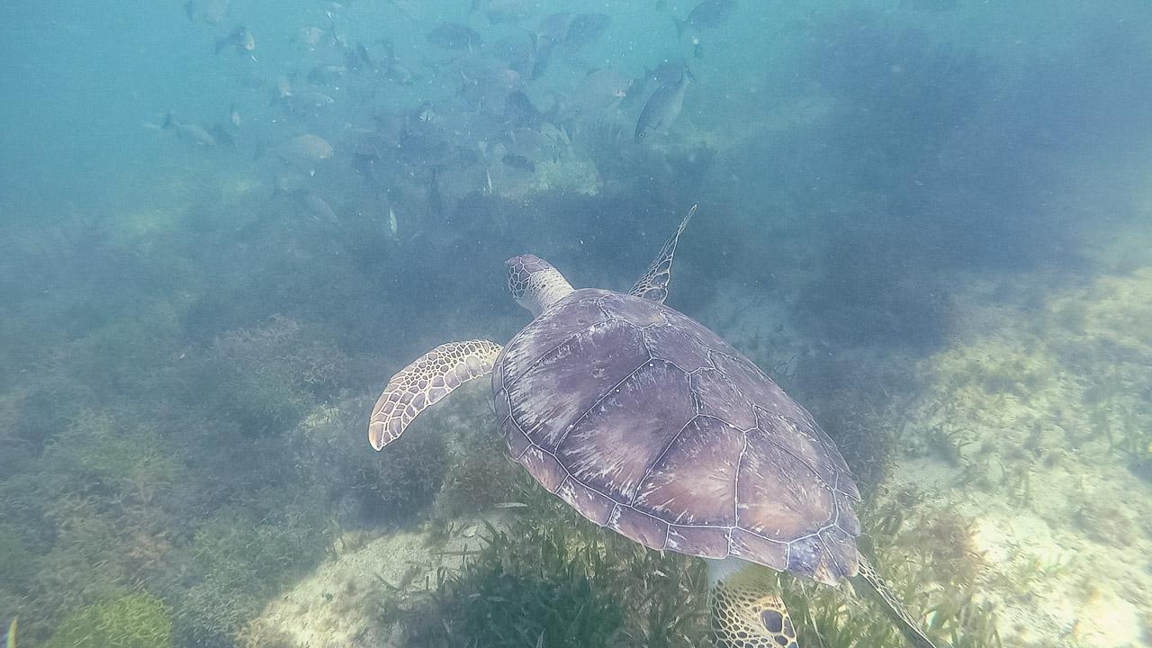 Holbox Schildkröte