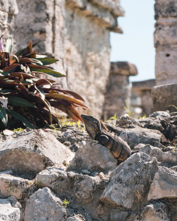 Tulum Maya Ruine Leguan