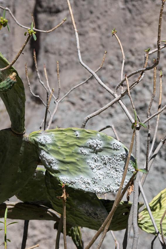 Kaktus mit Parasiten