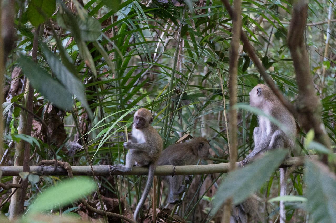 Singapur Affen Familie